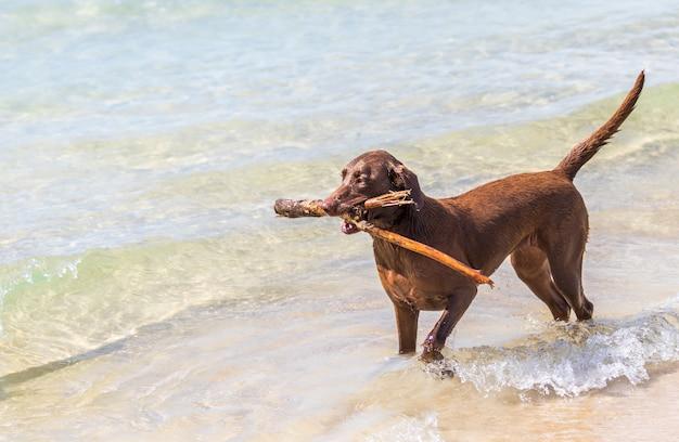 Cachorro marrom carregando uma bengala enquanto caminha na praia