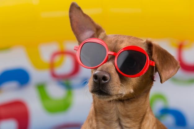 Cachorro marrom com óculos vermelhos em um fundo multicolorido de uma piscina inflável