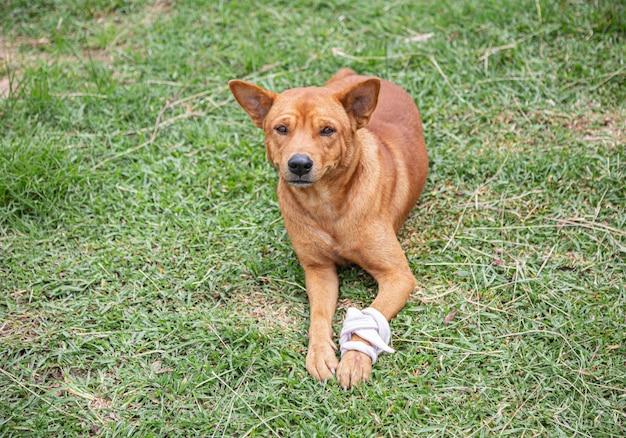 Cachorro marrom com uma perna enfaixada e machucada