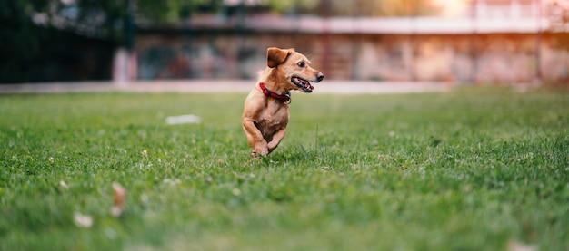 Cachorro marrom correndo na grama