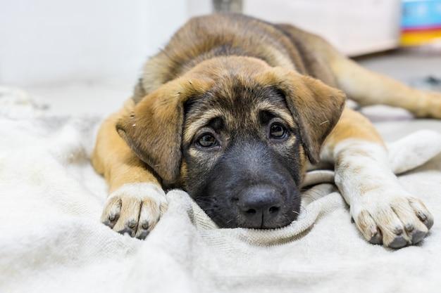 Cachorro marrom dormindo em casa na tela, contato visual
