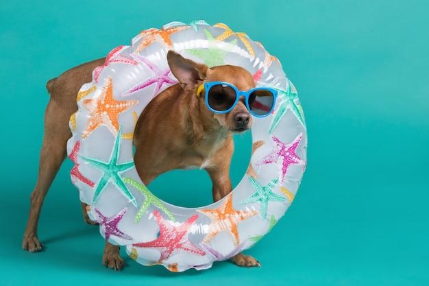 Cachorro marrom em pleno crescimento, com um círculo inflável no pescoço e com óculos azuis no rosto