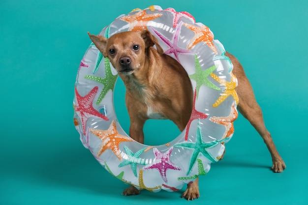 Cachorro marrom em pleno crescimento com um círculo inflável no pescoço