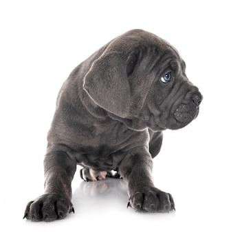 Cachorro mastim italiano na frente de um fundo branco