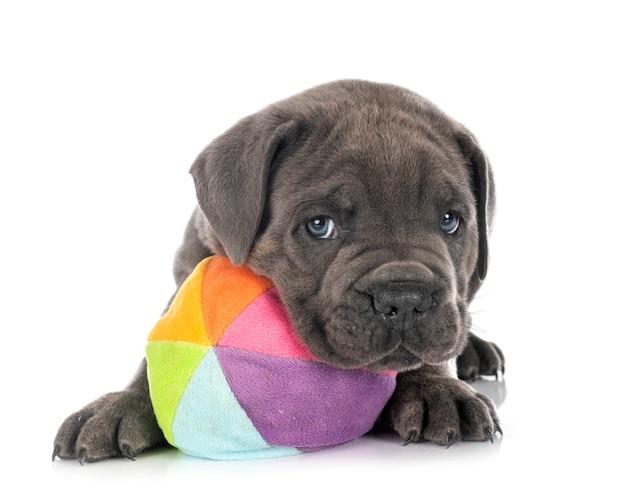 Cachorro mastim napolitano isolado no branco