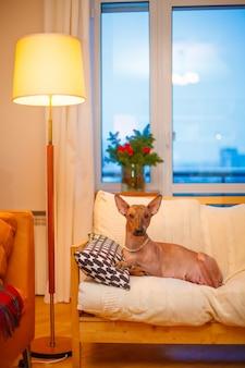 Cachorro mexicano nu encontra-se no sofá. foto de alta qualidade
