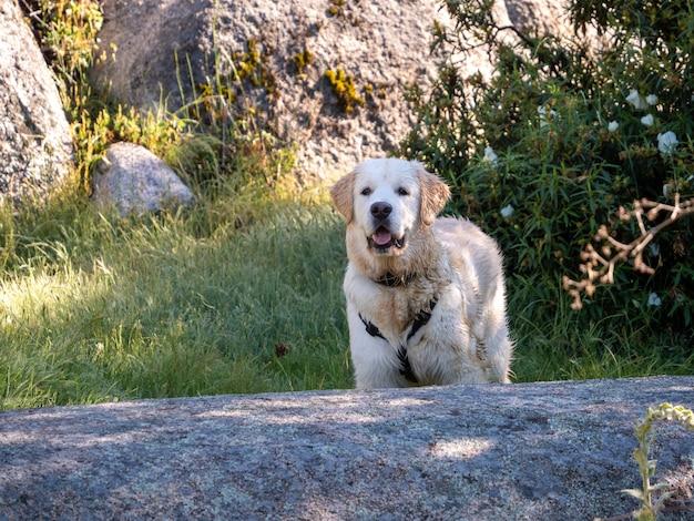 Cachorro molhado olhando para a frente em uma cena rural. cachorro molhado com arnês em uma área montanhosa com pedras e grama ao redor.