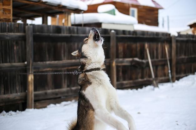 Cachorro na coleira latindo ao ar livre