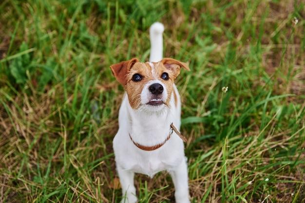 Cachorro na grama em um dia de verão. retrato de cachorro jack russel terrier