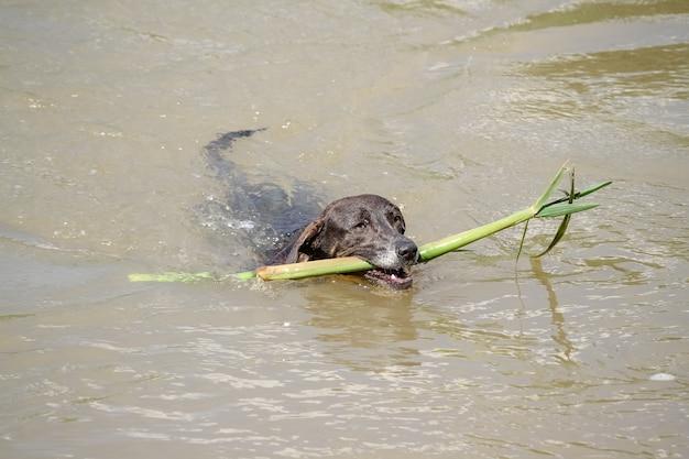 Cachorro nadando no rio com um galho de árvore na boca