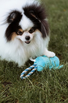Cachorro olhando alto brincando com um brinquedo