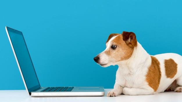 Cachorro olhando para laptop com interesse