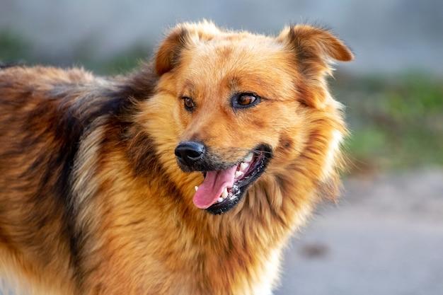 Cachorro peludo marrom com boca aberta em fundo desfocado
