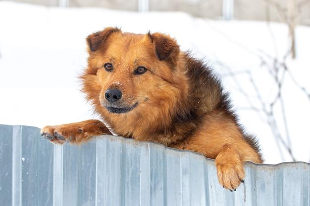 Cachorro peludo marrom fica em pé sobre as patas traseiras, olhando por trás de uma cerca, no inverno em um fundo de neve