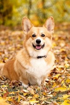 Cachorro pembroke welsh corgi sentado no chão coberto com folhas amarelas caídas na floresta de outono e olhando para a câmera