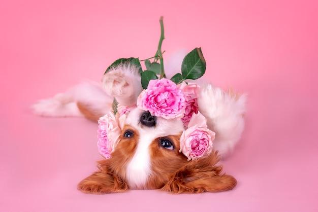 Cachorro pequeno cavalier king charles spaniel com rosas. deitado de costas, brincando. cachorro e rosas.