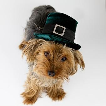 Cachorro pequeno com chapéu de duende de veludo verde para o dia de são patrício isolado no fundo branco