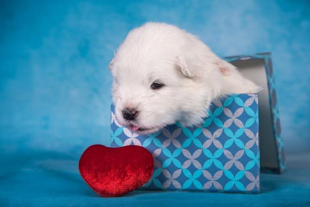 Cachorro pequeno e fofo de samoiedo branco em uma caixa de presente com um coração vermelho sobre fundo azul