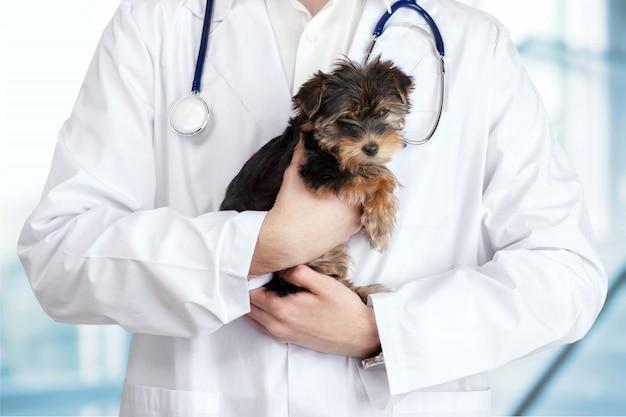 Cachorro pequeno e fofo examinado no médico veterinário, close-up