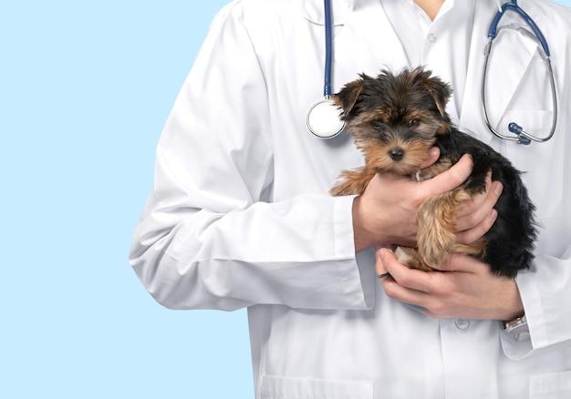 Cachorro pequeno e fofo examinado no médico veterinário, close-up Foto Premium