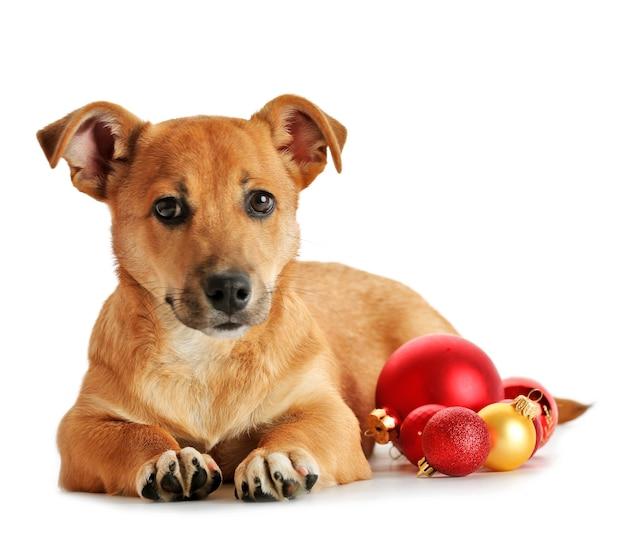 Cachorro pequeno engraçado fofo com brinquedos de natal, isolado no branco