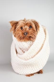 Cachorro pequeno enrolado em um cachecol quente de tricô
