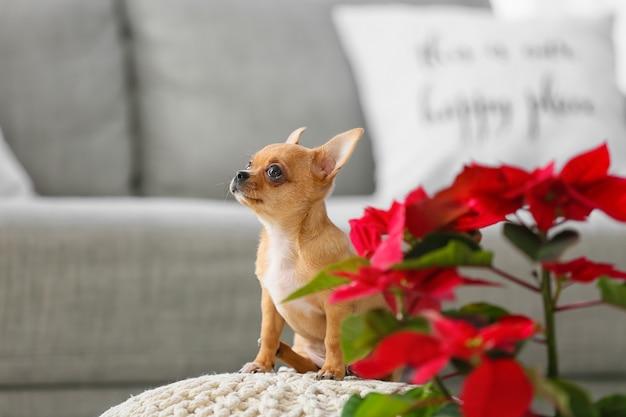 Cachorro pequeno fofo com poinsétia em casa na véspera de natal