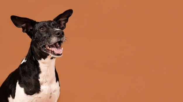Cachorro pequeno sendo adorável retrato em um estúdio