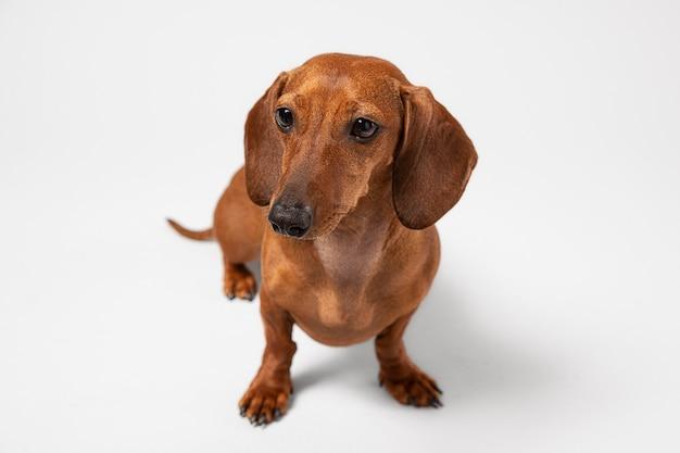 Cachorro pequeno sendo adorável