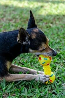 Cachorro pinscher deitado na grama mordendo o brinquedo