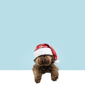 Cachorro poodle fofo comemorando o natal com um chapéu de papai noel vermelho pendurando as patas em um quadro em branco