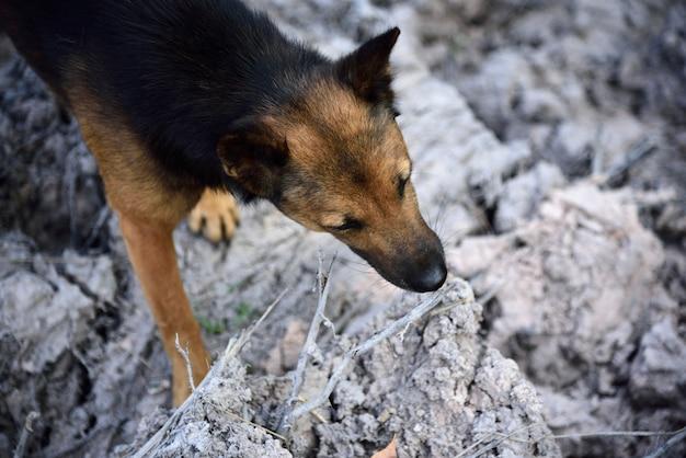 Cachorro preto e marrom olhando