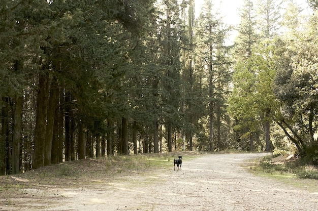 Cachorro preto fofo andando em uma floresta com muitas árvores verdes