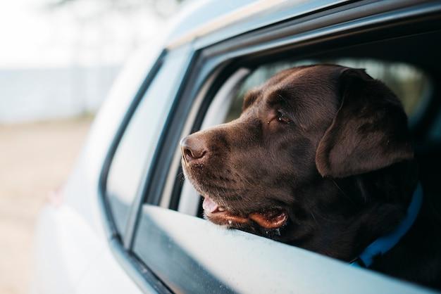 Cachorro preto grande no carro