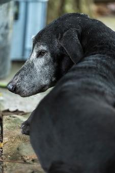 Cachorro preto, sonolento