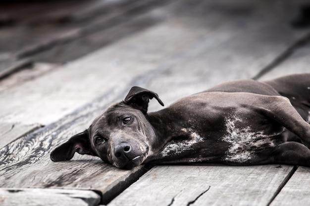 Cachorro preto tailandês no chão de madeira