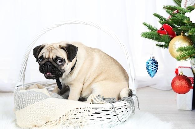Cachorro pug engraçado, fofo e brincalhão no tapete branco perto da árvore de natal na superfície clara