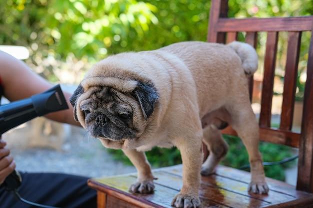 Cachorro pug fofo não fica feliz durante o banho