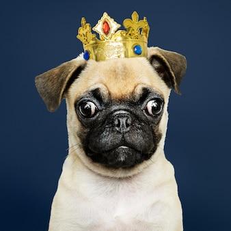 Cachorro pug usando coroa