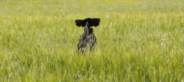 Cachorro pulando em um campo de trigo