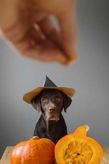 Cachorro retriever com chapéu preto e abóbora conceito de outono com roupa de halloween com uma abóbora