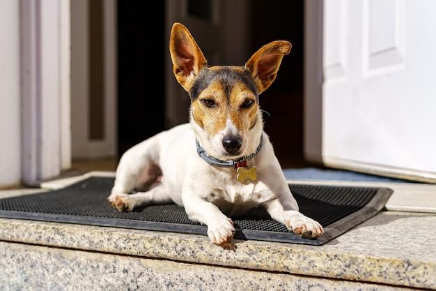 Cachorro russell de jack branco descansando na porta da frente da casa em um dia ensolarado. madrid.