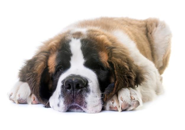 Cachorro saint bernard