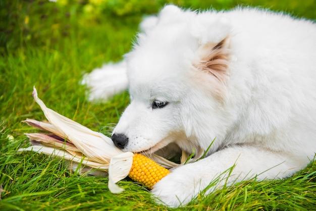 Cachorro samoieda branco engraçado comendo, apreciando seu milho