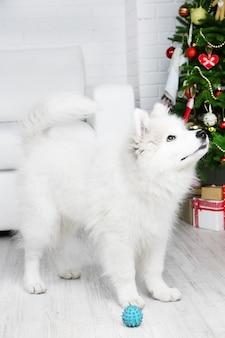 Cachorro samoiedo brincalhão com bola na sala com árvore de natal no fundo