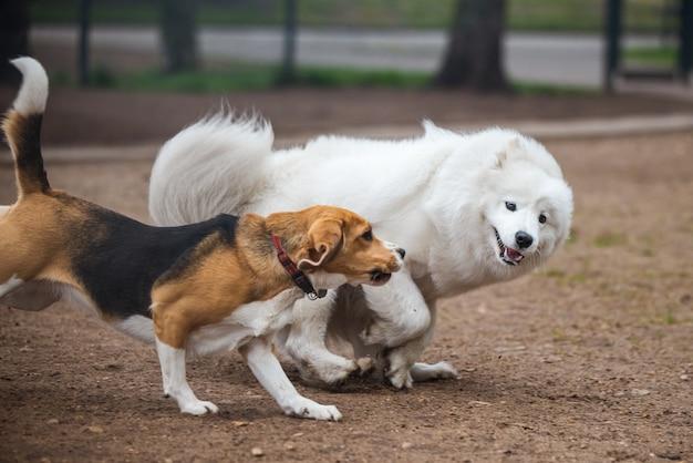 Cachorro samoiedo e beagle em movimento brincam no parque