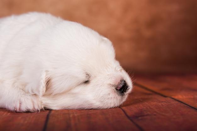 Cachorro samoyed pequeno branco em fundo marrom