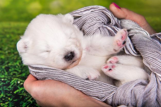 Cachorro samoyed pequeno e fofo branco com um lenço nas mãos