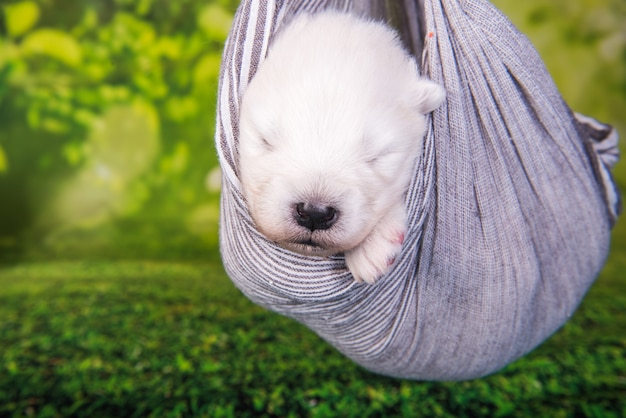 Cachorro samoyed pequeno e fofo branco está em um lenço