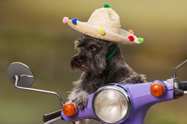 Cachorro schnauzer miniatura, com chapéu mexicano, andando de scooter, como se os controles, olhar engraçado, conceito de descanso, close-up